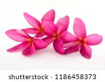 Stock photo the isolated flowers on the white background this image is plumeria flowers in the thailand 1186458373