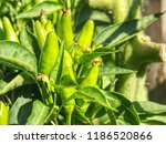 detail of tree and green chili... | Shutterstock . vector #1186520866