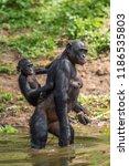 bonobo cub on the mother's... | Shutterstock . vector #1186535803