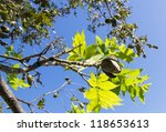 Pecans On A Tree Branch With...