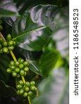 arabica coffee cherries on tree ... | Shutterstock . vector #1186548523