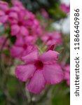 desert rose  mock azalea ... | Shutterstock . vector #1186640986