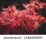 sun backlit  full bloom red... | Shutterstock . vector #1186690849