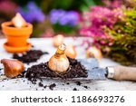 Bulbs of flowers ready for autumn planting. - stock photo