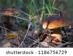 mushrooms cep growing in forest.... | Shutterstock . vector #1186756729
