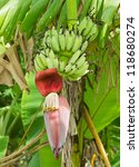 Growing Banana Blossom On...