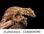 gargoyle gecko on a dead tree... | Shutterstock . vector #1186804090