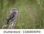 little owl or athene noctua... | Shutterstock . vector #1186804093