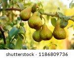 ripe juicy pears on tree branch ... | Shutterstock . vector #1186809736