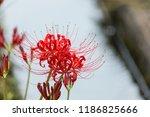 cluster amaryllis   autumn... | Shutterstock . vector #1186825666