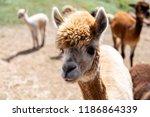 alpaca farm outside   Shutterstock . vector #1186864339