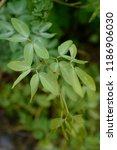 madras thorn  pithecellobium... | Shutterstock . vector #1186906030