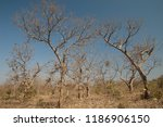 dry deciduous forest of flame... | Shutterstock . vector #1186906150