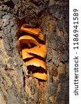 winter mushroom in the hollow...   Shutterstock . vector #1186941589