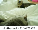 cats playing on bed. | Shutterstock . vector #1186991569