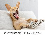 dog in bed resting and yawning  ...   Shutterstock . vector #1187041960