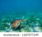 sea turtle in tropical seashore ... | Shutterstock . vector #1187077249