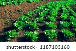 steps of green lettuce... | Shutterstock . vector #1187103160
