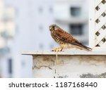 common kestrel a bird of prey... | Shutterstock . vector #1187168440