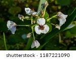 white flowers of arrowhead ... | Shutterstock . vector #1187221090