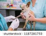 Stock photo a doctor and a nurse take a blood test from a small dog chihuahua vet clinic laboratory in the 1187281753