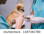 Stock photo a doctor and a nurse take a blood test from a small dog chihuahua vet clinic laboratory in the 1187281780