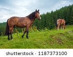 grazing horse at high land...   Shutterstock . vector #1187373100