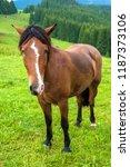 grazing horse at high land...   Shutterstock . vector #1187373106