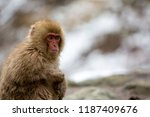 some macaque apes take a bath... | Shutterstock . vector #1187409676