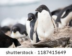 some penguins in the arctic... | Shutterstock . vector #1187415649