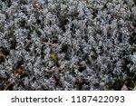 reindeer moss closeup | Shutterstock . vector #1187422093