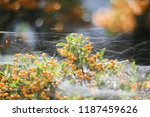 bush of a yellow hawthorn in a...   Shutterstock . vector #1187459626