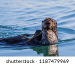 a young sea otter playing on... | Shutterstock . vector #1187479969