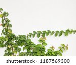 green creeper plant on a white... | Shutterstock . vector #1187569300