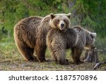 she bear and bear cub. adult... | Shutterstock . vector #1187570896