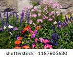 colorful flowers in a garden.    Shutterstock . vector #1187605630