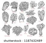 leaf vegetable and salad vector ... | Shutterstock .eps vector #1187632489