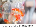 Stock photo goldfishes and different fishes for aquarium in plastic bags hanged on the wall in a pet shop 1187649796