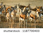 herd of springbok at morning... | Shutterstock . vector #1187700403