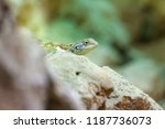 bibron's agama sitting on a rock | Shutterstock . vector #1187736073