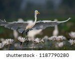 egret taking off from a pond  | Shutterstock . vector #1187790280