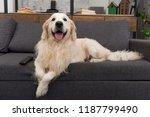 cute golden retriever lying on... | Shutterstock . vector #1187799490