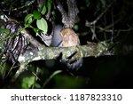 rare owl  santa marta screech... | Shutterstock . vector #1187823310
