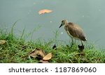 many species of birds are at... | Shutterstock . vector #1187869060