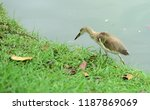 many species of birds are at... | Shutterstock . vector #1187869069