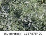 artemisia schmitidiana  called... | Shutterstock . vector #1187875420