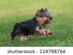 An Amazing Yorkshire Terrier I...