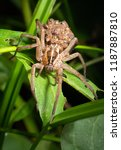 Small photo of Female Rabid Wolf Spider carrying her spiderling young on her back in North Carolina