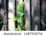 wooden poles lined up with wild ... | Shutterstock . vector #1187923576