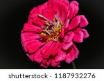 close up of a large  bright ... | Shutterstock . vector #1187932276